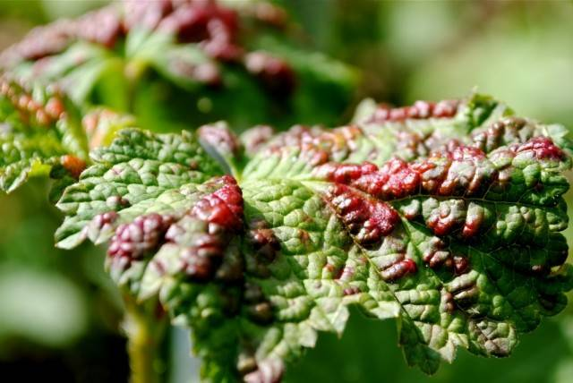 Галловая тля на смородине — чем и как с ней бороться