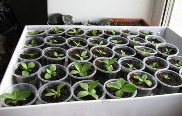 Эустома – выращивание из семян в торфяных таблетках