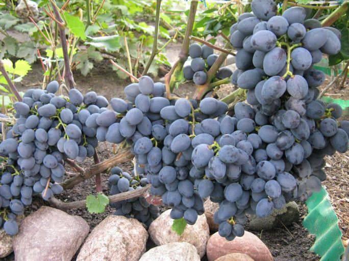 Виноград гала: описание и характеристики сорта, история селекции, особенности выращивания