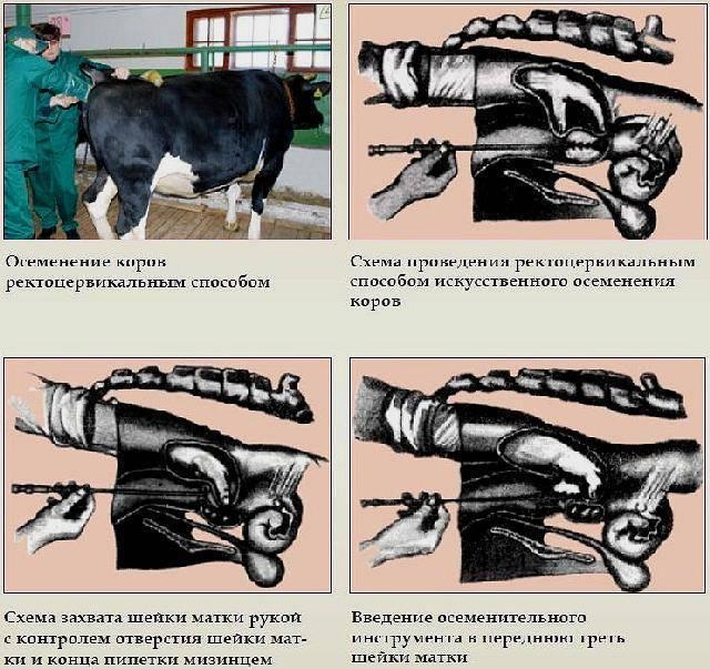 Искусственное и естественное осеменение коров