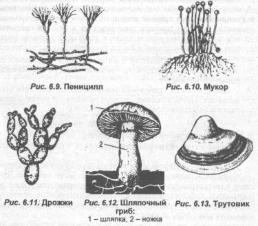 Строение и жизнедеятельность гриба пеницилла