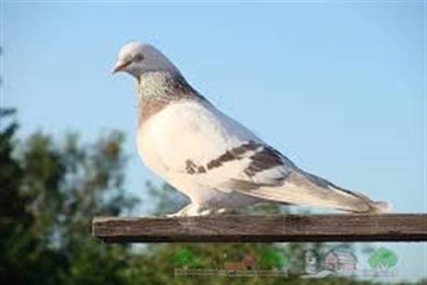 Пакистанские высоколётные голуби: описание, фото, уход и содержание