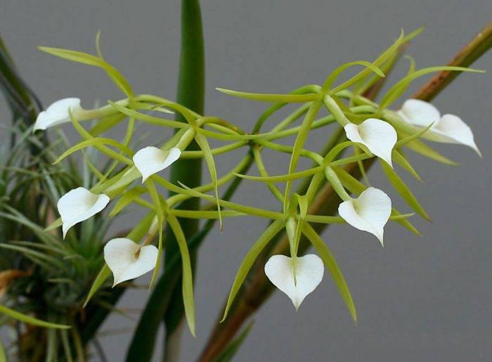 Характеристика орхидеи Брассавола