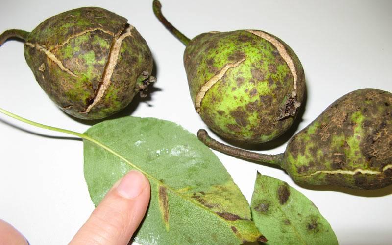 Почему чернеют листья у груши: что делать, как лечить