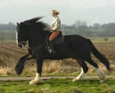 Порода самых больших лошадей. книга рекордов гиннеса: самая большая лошадь