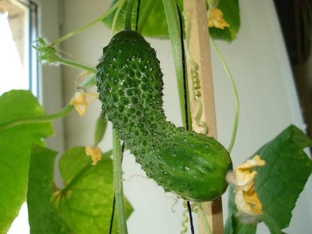 Почему огурцы растут крючком в теплице, что делать чем подкормить