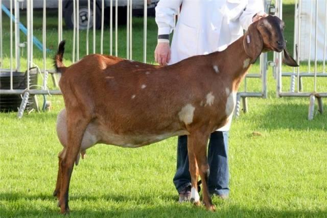 Разведение англо-нубийской породы коз