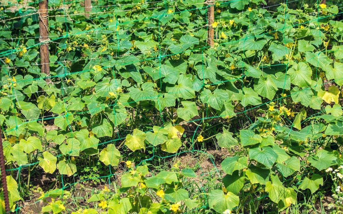 Почему желтеют завязи огурцов в теплице: причины и борьба с ними