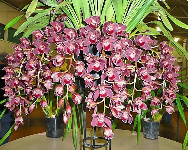 Редкие и необычные сорта орхидей — описание и фото