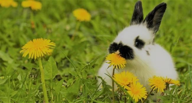 Можно ли кормить кроликов одуванчиками: листьями, цветками, корнями - растения и огород