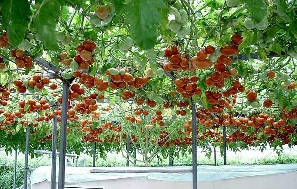 Необычный томат «цифомандра» к вашему столу: описание сорта, достоинства и особенности выращивания