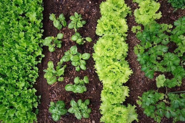 Грядки совместных посадок: фото, видео, примеры совместимых и несовместимых культур в саду и на огороде