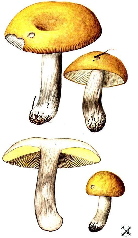 Сыроежка - 80 фото как быстро отличить съедобный гриб от горького