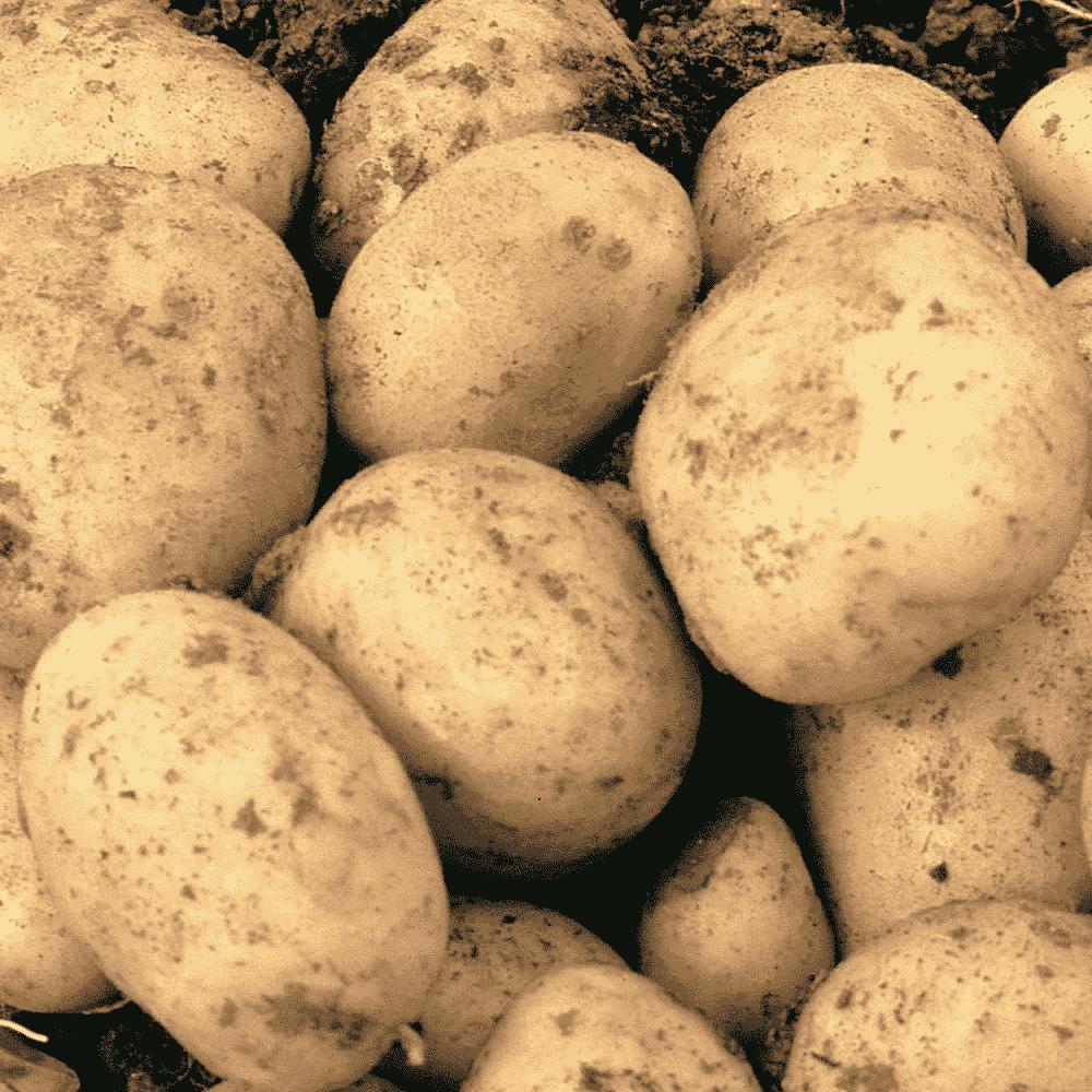 Картофель зекура – описание сорта + видео