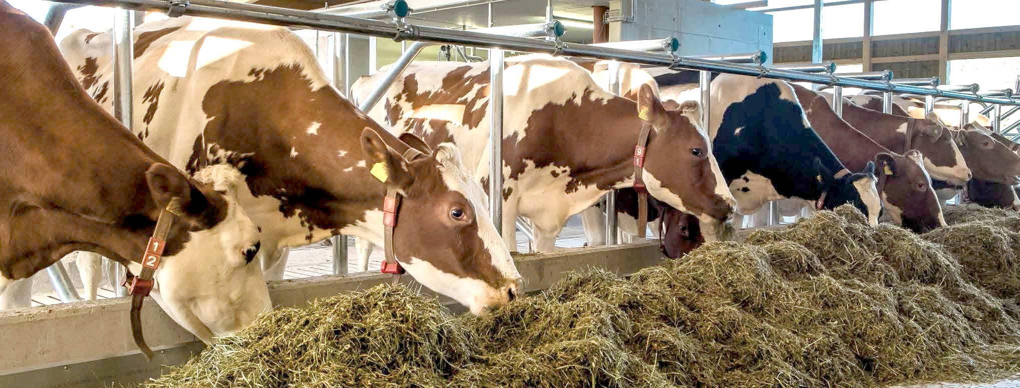 Сухостойный период у коров: что это, правила кормления