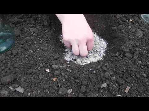 Посадка кабачков в открытый грунт: подготовка почвы, сроки и схемы