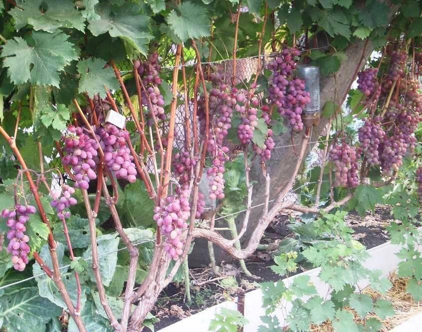 Виноград виктория, описание