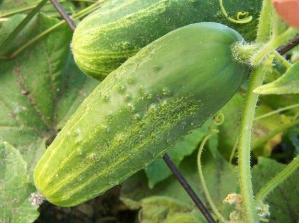 Немыслимые урожаи сочных и хрустящих плодов — огурец хрустик f1: описание и характеристика сорта