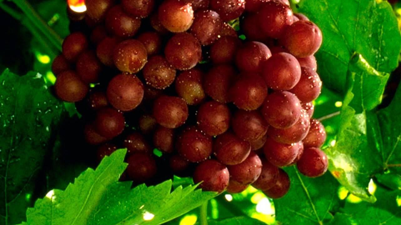 Польза винограда — польза, вред и особенности применения для укрепления здоровья (110 фото + видео)