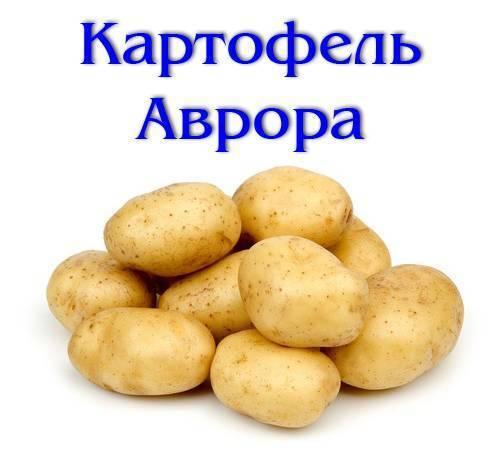 """Картофель аврора - описание сорта, фото, отзывы, посадка и уход - журнал """"совхозик"""""""