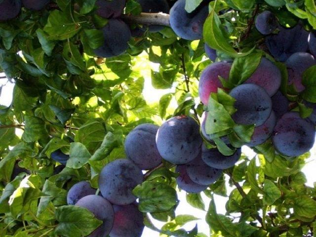 Слива анжелина: описание сорта, отзывы, фото, выращивание