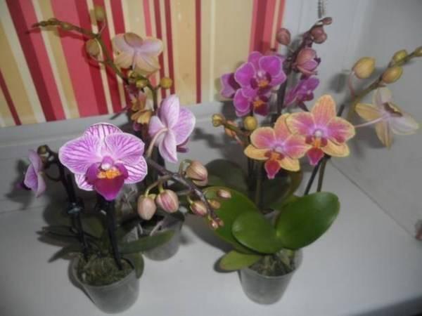 """Мини-орхидеи: фото, названия и особенности ухода - проект """"цветочки"""" - для цветоводов начинающих и профессионалов"""