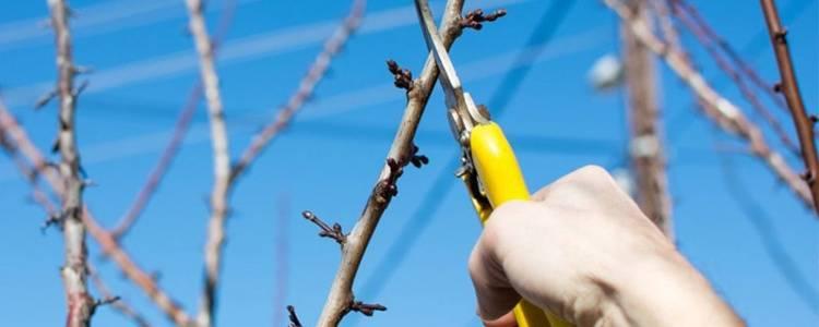 Обрезка (формирование) сливы: когда и как правильно ее делать, летом, осенью, зимой, весной, схемы для саженцев первого года, старых деревьев, колоновидных сортов, стрижка кустом в холодных регионах