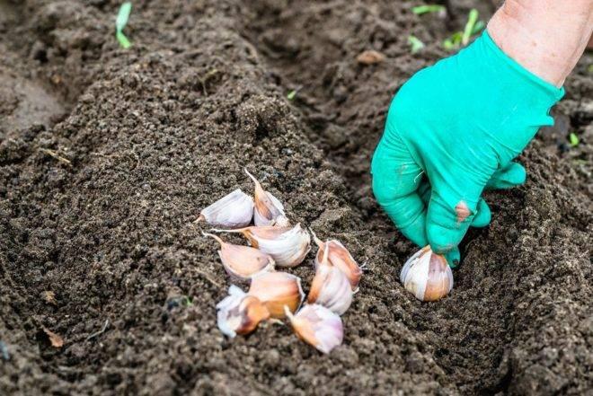 Посадка чеснока в открытый грунт весной зубчиками: можно ли, когда и как правильно провести процедуру для яровых сортов, также уход в открытом грунте русский фермер