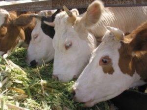 Содержание и кормление сухостойных коров