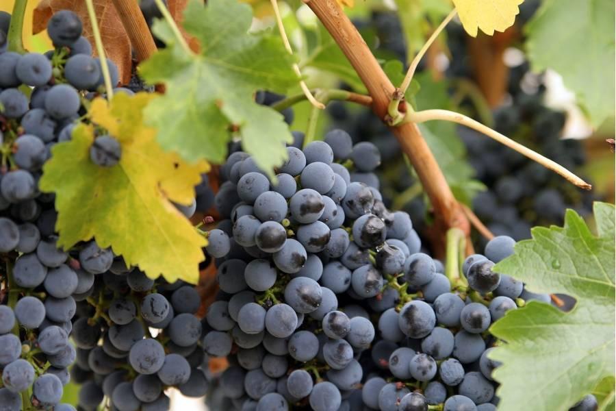 Эффектный сорт родом из калифорнии: виноград «ведьмины пальцы»