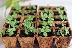 Особенности выращивания клубники из семян: фото + видео