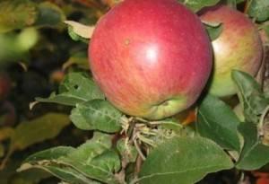 Яблоня сорта имрус в вашем саду