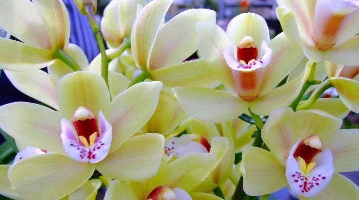 Почему у орхидеи сгнили корни и как можно реанимировать растение, если оно погибает?