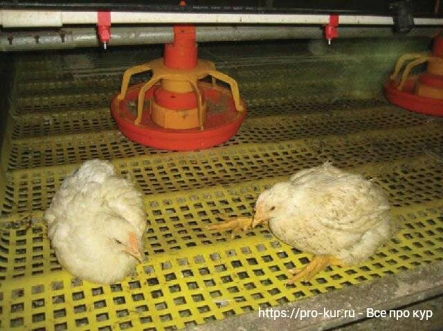 Выращивание бройлеров в домашних условиях: технология и оборудование, содержание цыплят и кур, кормление и уход, болезни selo.guru — интернет портал о сельском хозяйстве