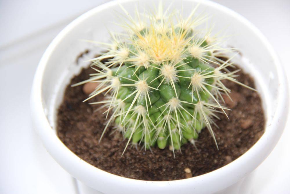 Выращивание эхинокактуса грузони: как посадить, ухаживать, удобрять, размножать