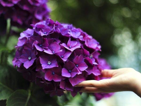 Цветок гортензия комнатная: как ухаживать за растением в горшке, почему сохнут листья в домашних условиях,фото, зачем подкармливать зимой, и почему не цветет,болезни selo.guru — интернет портал о сельском хозяйстве
