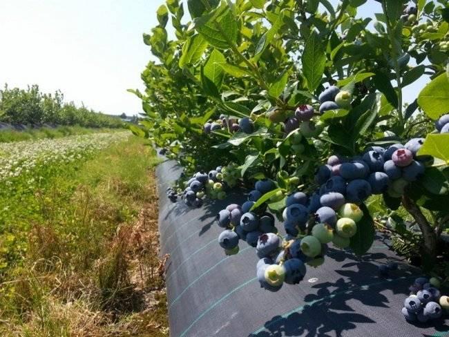 Голубика садовая: посадка и уход, фото, отзывы, технология выращивания и размножения