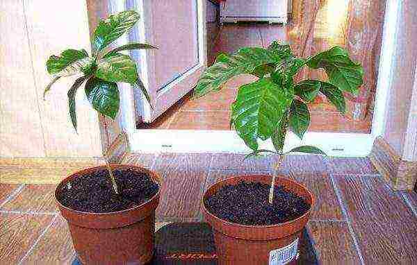 Кофейное дерево- все о выращивании кофе в домашних условиях