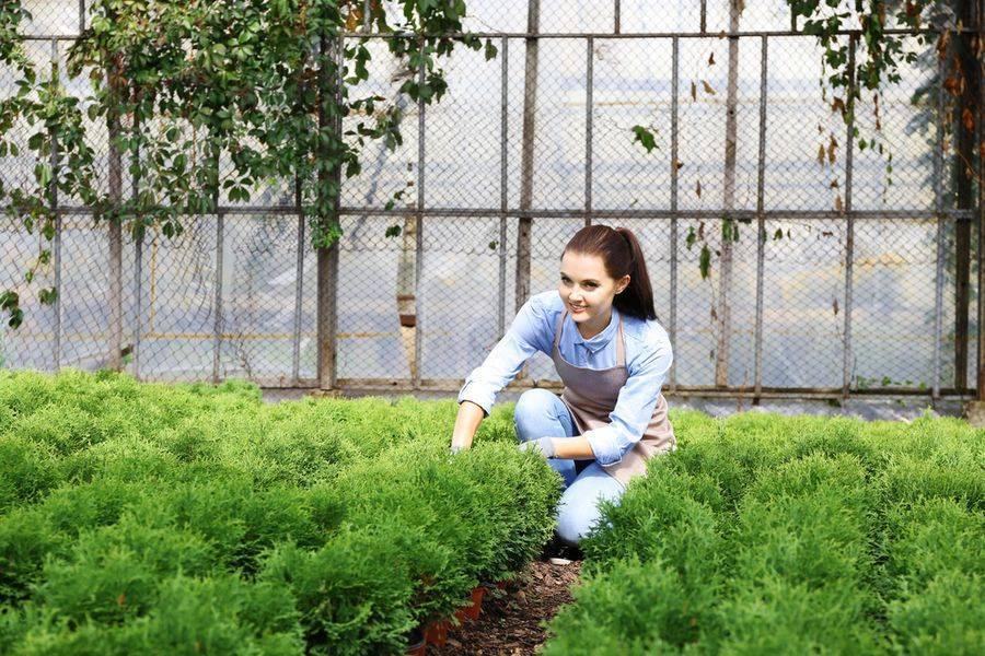 Советы по посадке и уходу за можжевельником блю стар в саду