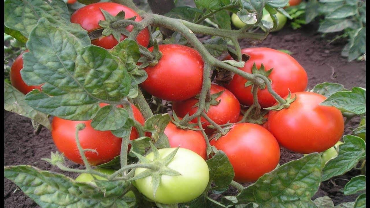 Как и чем нужно опрыскивать томаты летом