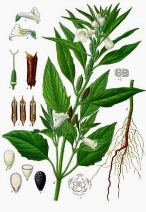 Как и где растет кунжут, способы выращивания сезама на даче?