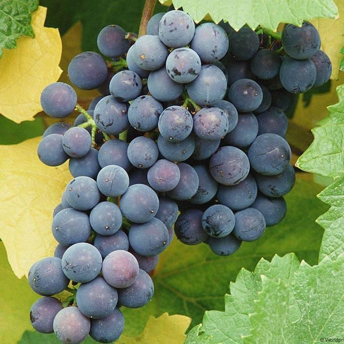 Выращивание северного винограда