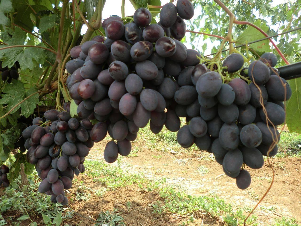 ✅ виноград светлана: описание сорта, выращивание и уход, фото - tehnoyug.com