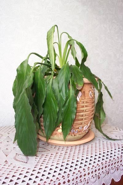 Спатифиллум после пересадки опустил листья: что делать, если цветок завял после процедуры, как реанимировать растение, и рекомендации, как правильно пересаживать «женское счастье»