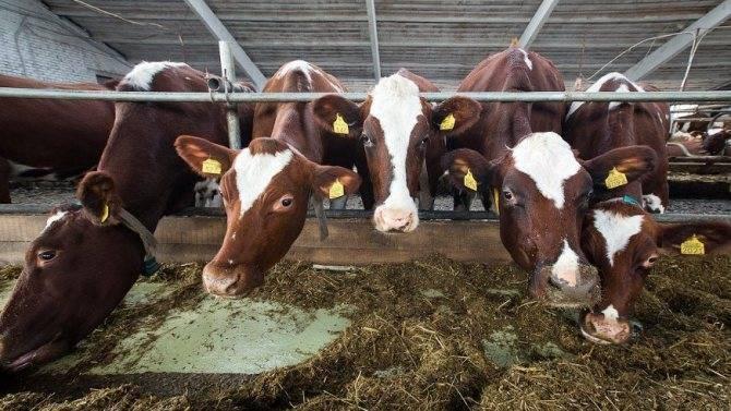 Как лечить папилломы у коров?