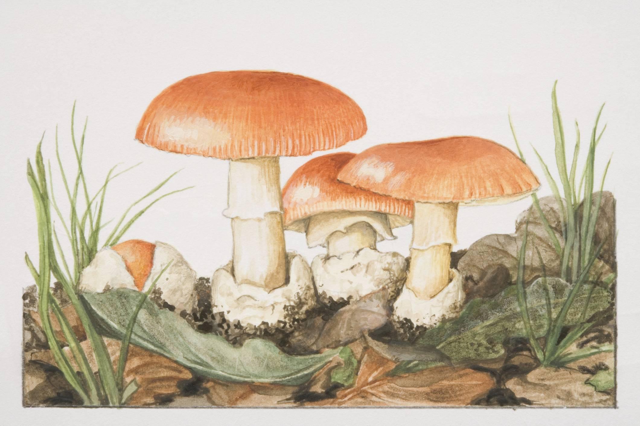 Царский гриб: как выглядит, рецепты приготовления мухомора цезаря
