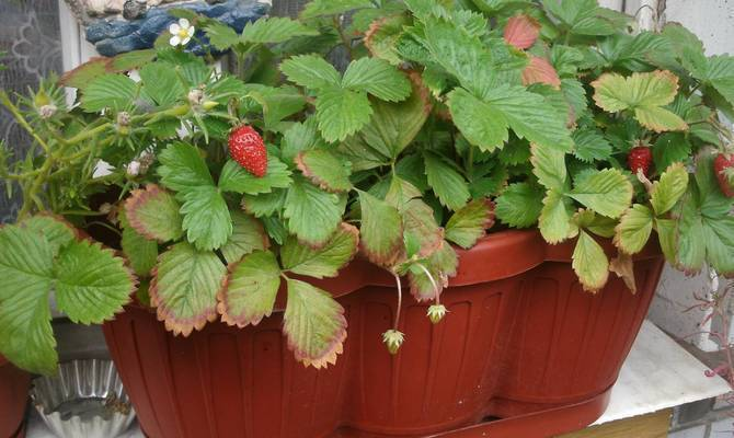 Ампельная клубника: уход и выращивание ампельная клубника: уход и выращивание