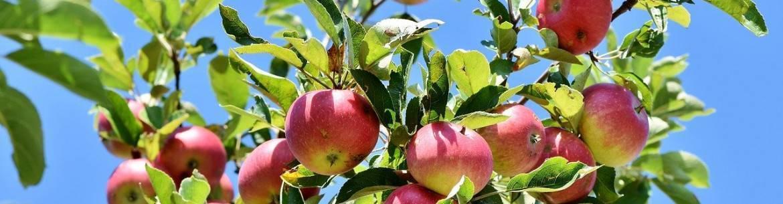 Прививка яблони осенью для начинающих: пошаговая инструкция, как прививать черенки