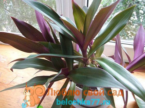 Рео - фото цветка, уход  в домашних условиях, размножение комнатного растения
