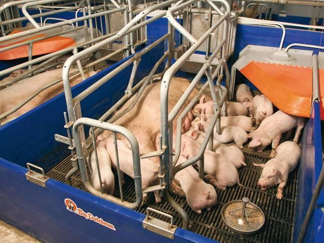 Станок для свиноматок своими руками. описание с фото и видео